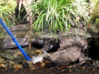 水中でえさの魚の切り身をもらい食事するオオサンショウウオ