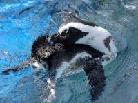 ぐにゃりと体を曲げて羽繕いするケープペンギン