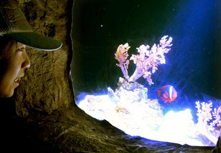 「クマノミの洞窟」では日本近海で見ることのできる6種類のクマノミの仲間を観察できる(京都市下京区・京都水族館)