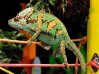 強い握力と鋭い爪でロープにつかまるエボシカメレオン