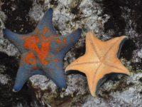 5本の腕が星のように見え、子どもたちに大人気のイトマキヒトデ