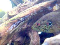 卵を守るオヤニラミ。えらの後ろに目玉に似た大きな斑点がある