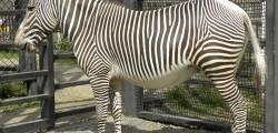 zoo_zebra